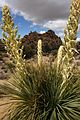 Flowers in Joshua Tree National Park (3432961205).jpg