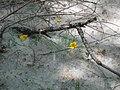 Flowers in cottonwood cotton, Tumacacori National Historical Park (6127871342).jpg