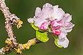 Flowers of Malus domestica (11).jpg