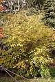 Flueggea suffruticosa - Aspect automnal.jpg