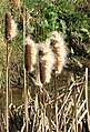 Fluffy bulrushes - geograph.org.uk - 1187471.jpg