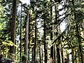 Forest canopy sol duc scenic r mckenna march 04 2015 (17126563040).jpg