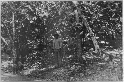 Fotg cocoa d029 cacao harvest in trinidad.png