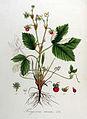Fragaria vesca — Flora Batava — Volume v8.jpg