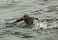 Frailecillo coletudo (Fratercula cirrhata), Bahía de la Resurección, Seward, Alaska, Estados Unidos, 2017-08-21, DD 36.jpg