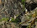 Frailecillos corniculados (Fratercula corniculata), Bahía de Aialik, Seward, Alaska, Estados Unidos, 2017-08-21, DD 82.jpg