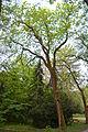 Fraxinus excelsior - City Park in Lučenec (2).jpg