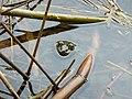 Frog - panoramio - Jürg Joss.jpg