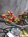 Fruits and stem of Tinospora cordifolia.jpg