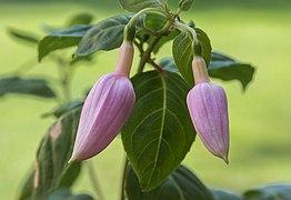 Fuchsia 'Acclamation'. (d.j.b.) 02.jpg