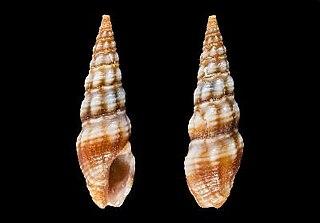 <i>Funa fourlinniei</i> species of mollusc