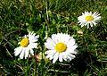 Gänseblümchen im Rasen 2010 (Nordrheinwestfalen).jpg