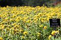 Gaillardia pulchella 'Torch Yellow'.jpg