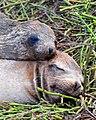 Galápagos Sea Lion (4885191038).jpg