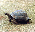 Galapagos Tortoise at the Pearl Coast Zoo.jpg