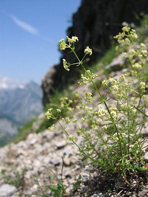 Traunsee-Labkraut (Galium truniacum)
