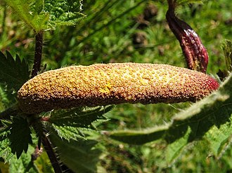Aecium - A rust gall covered with aecia