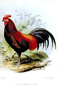 Ayam Bekisar Wikipedia Bahasa Indonesia Ensiklopedia Bebas