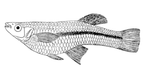 Gambusia - Cuban gambusia, Gambusia punctata
