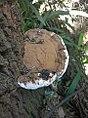 Ganoderma annulare (Lloyd) Boedijn 730523 crop.jpg