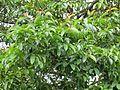 Garcinia mangostana (Mangosteen) leaves in RDA, Bogra 02.jpg