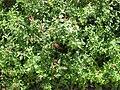 Gardenology-IMG 7870 hunt10aug.jpg
