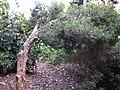 Gardenology.org-IMG 2558 ucla09.jpg