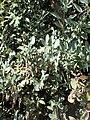 Garrya flavescens kz01.jpg