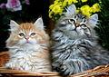 Gatto Siberiano cuccioli.JPG