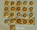 Geastrum saccatum 28309315.jpg