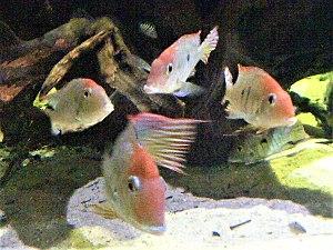 Tapajós - Image: Geophagus surinamensis Blue Reef Aquarium Newquay