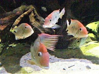 """Tapajós - Geophagus sp. """"orange head"""", an undescribed species known only from the lower Tapajós basin"""