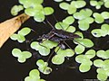 Gerris lacustris 05.JPG
