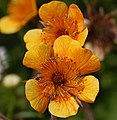 Geum 'Beech House' Flower Closeup 1625px.jpg