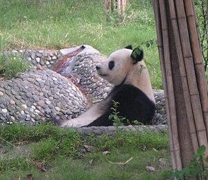 Chengdu Research Base of Giant Panda Breeding - A giant panda at Chengdu Panda Base