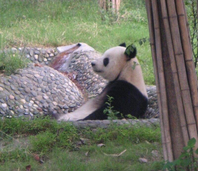 Giant Panda at Chengdu Panda Base.jpg