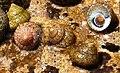 Gibbula divaricata.JPG