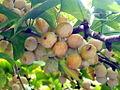 Ginkgo biloba seeds-002.jpg