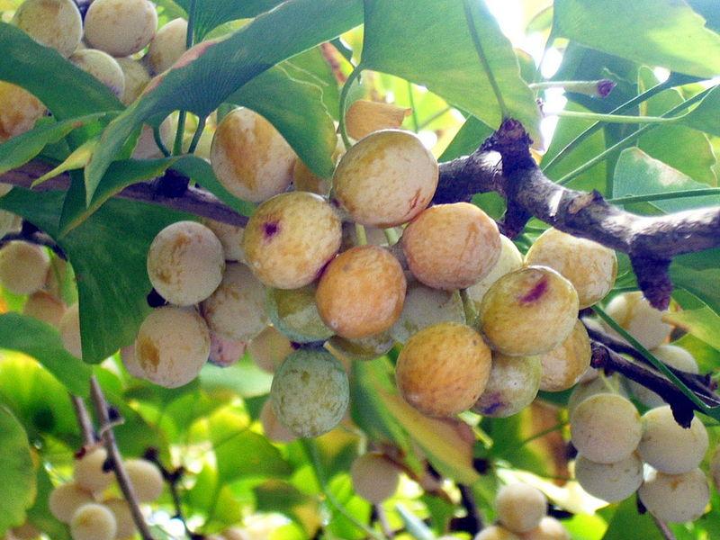 File:Ginkgo biloba seeds-002.jpg