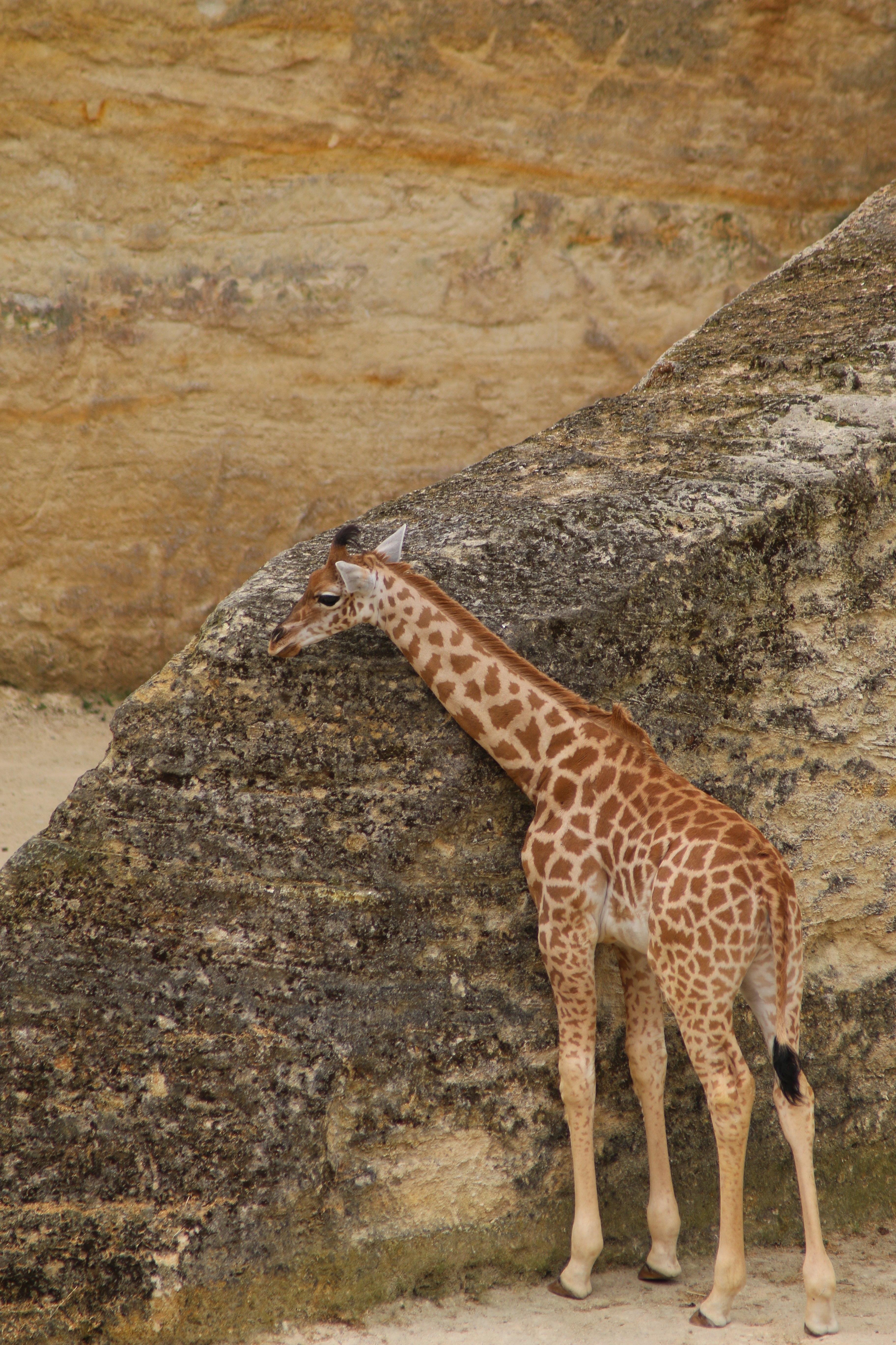 file girafe de kordofan giraffa camelopardalis antiquorum. Black Bedroom Furniture Sets. Home Design Ideas