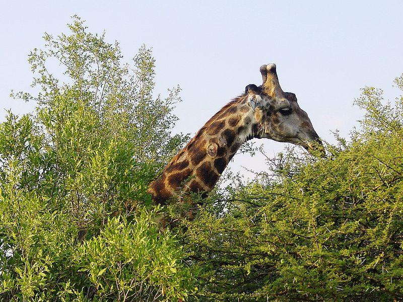 File:Giraffa camelopardalis Kruger Park.JPG