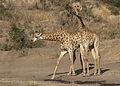Giraffe, Giraffa camelopardalis at Mahone Loop, Punda Maria, Kruger National Park, South Africa (20197730704).jpg