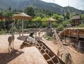 Giraffes at the Cheyenne Mountain Zoo in Colorado Springs, Colorado. The zoo's giraffe breeding program is the most prolific in the world. There is even a Web cam (online camera view) for giraffe LCCN2015633992.tif