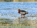 Glossy Ibis (Plegadis falcinellus) (41495441374).jpg