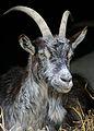 Goat at Highland and Rare Breeds Park 1.jpg