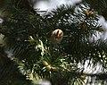 Goldcrest I IMG 7042.jpg