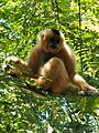 Golden-cheeked gibbon female CTNP.jpg