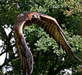 Golden Eagle in flight - 6.jpg