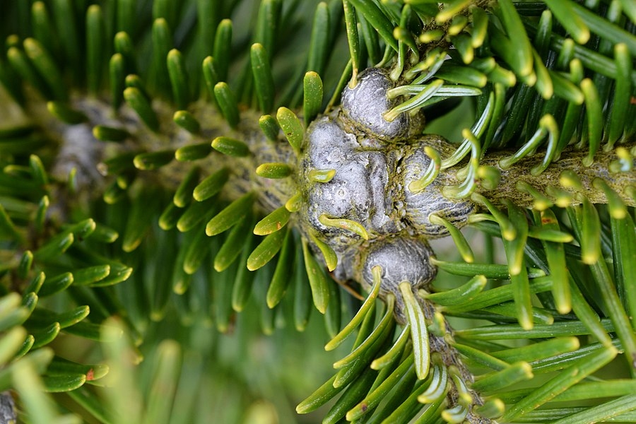 Damages caused by Adelges piceae (Balsam woolly adelgid - Adelgidae) on Abies fraseri (gout disease)