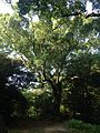 Grand tree near Tamon-yagura of Fukuoka Castle.jpg